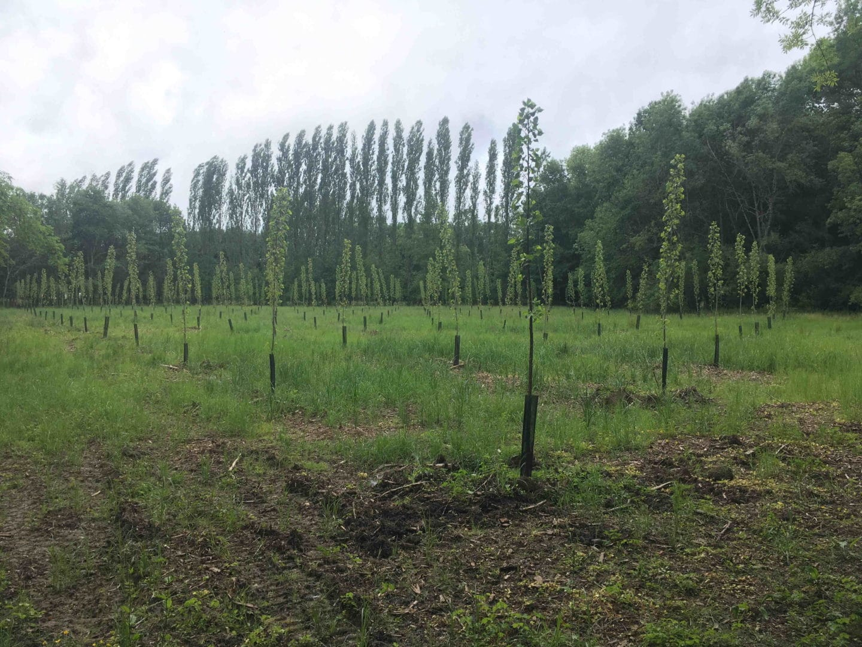 Jeune plantation de peupliers